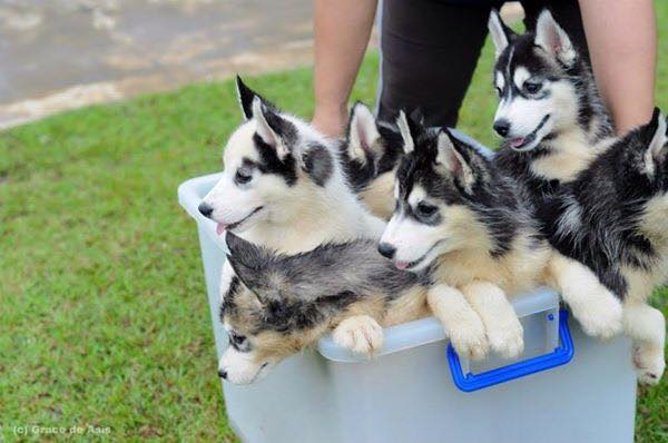 hei-bai. (2014). A Tub of Huskies [jpg]. Retrieved from http://i.imgur.com/5bGrqhU.jpg